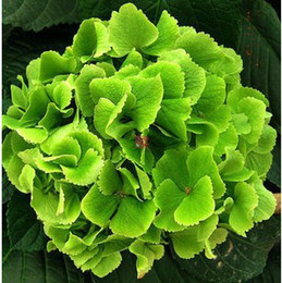 Wholesale Beautiful Pelargonium Graveolens Seeds Geranium Seeds Bulk Seeds for Growing RY1463