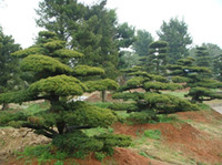 Bonsai Outdoor Plants Yes 40 pcs lot GARDEN BONSAI TREE SEED White pine Podo carpus tree seeds , Evergreen Shrubs Potted Land free shipping