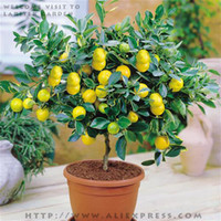 Herb Seeds Lemon Tree (Bonsai Series) Blooming Plants 5 packs, 7 seeds pack, Lemon Tree BONSAI series * Indoor, outdoor available, Edible Green Lemon seeds, plus mysterious gift