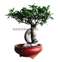 Ficus Ginseng Foliage Plants Temperate Hot selling 20pcs banyan tree seeds ficus ginseng seeds bonsai seeds green tree seeds DIY home garden free shipping