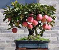 Courtyard Plant Temperate Outdoor Plants new 2014 Bonsai Apple Tree Seeds 200 Pcs apple seeds (used wet sand sprouting )fruit bonsai home garden in flower pots planters