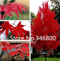 Bonsai Indoor Plants Yes Free shipping 40pcs pack of bonsai American maple tree seeds japanese mini plants garden tree seeds
