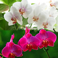Wholesale Beautiful New Arrival Nice Mix Color Phalaenopsis Flower Bonsai Plant Butterfly Orchid Seeds B16 SV003925