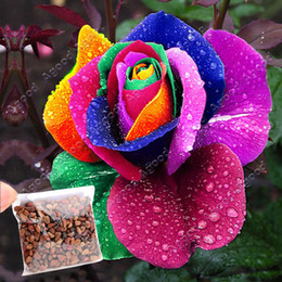 Wholesale Perennials Beautiful Flowering Roses Rose Seeds Rainbow Colors SV003023