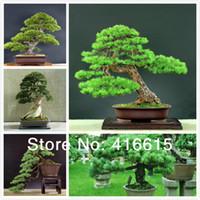 Bonsai Yes NC 30 Pieces Five-Leaved Pine Bonsai Tree Seeds,Millennium Plants Potted Landscape Japanese Five Needle Pine Bonsai Miniascape Seed