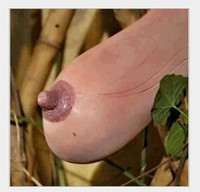 Wholesale Selected high quality Vietnam gourd seeds hanging breasts melon Fun vegetable seeds for DIY home garden