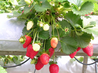 Wholesale Fruit seeds red strawberry seeds Beautiful Plant fruit seeds potted plants home garden supply