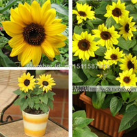 Wholesale Free shiping Pack Seeds Short Sunflowers Seeds Flower seeds Plant seeds