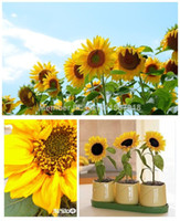 Wholesale Short Sunflowers Seeds Pack Seeds Flower seeds Plant seeds