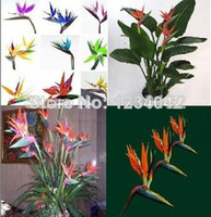 Wholesale 100pcs All sorts of color Strelitzia reginae seeds hybrid bird paradise seed Bonsai plants Seeds for home amp garden