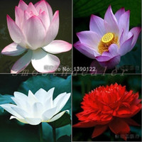 Wholesale Pieces Lotus Flower Lotus Seeds Water Garden Plants Teach You How to Plant Lotus Flower