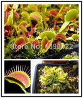 Wholesale Fresh Dionaea Muscipula Giant Clip Venus Flytrap Seeds Bonsai Carnivorous Plant Seeds