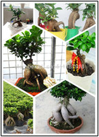 Flower Seeds Bonsai Outdoor Plants 5 seeds free shipping Air purification bonsai flower plant plants ficus ginseng seeds