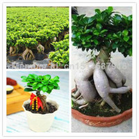 Flower Seeds Bonsai Outdoor Plants 60pcs lot Ficus ginseng tree seeds beautify home garden Potted plants free shipping