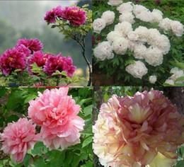 Цветковые деревья Онлайн-Горшечные цветочные семена Mudan пион видов 100 штук пион семян Potted tree peony #70148