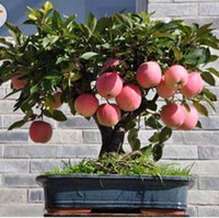Cheap Fruit Seeds Bonsai Apple Tree Best   flower pots planters