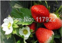 other blooming plants excluded 2014 direct selling sale sementes casa 100pcsg otted strawberry seeds eating fruit seed the four seasons vegetables planting