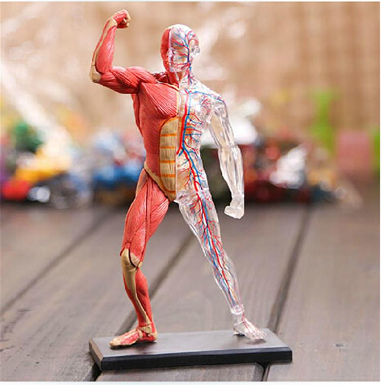 medical use 4d master four dimensional jigsaw human anatomy models, Skeleton