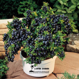 Wholesale 5 Professional packs seeds pack Bonsai Blueberry Heirloom Blue Berry Fresh seeds Edible fruit indoor outdoor available