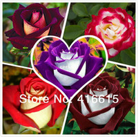 Wholesale 250 New Rose Seeds Different Colors Rare Osiria Rose Professional Packing Heirloom Chinese Rose Flower Seeds Mysterious Gift