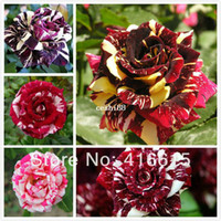Wholesale 250 New Rose Seeds Different Colors Rare Cream Rose Light Fragrance Novelty Colouring Of Burgundy Rose Flower Seeds Gift
