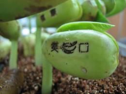 Wholesale Magic Beans Seeds Growing Beanstalk ENGLISH Message Bonsai Green Plant Love Bean Home Decoration
