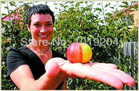 other Bonsai Outdoor Plants Free shipping, the world's rare Australian mini Bonsai double-color Apple Seeds, 35 seed of potted plant fruit trees