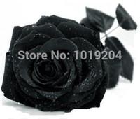 Wholesale seeds of Japan s rare black rose lover bonsai plants