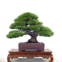 Tree Seeds Fancyqube Foliage Plants Hot Selling 50pcs Pine Tree Seeds Pinus Thunbergii Seeds Bonsai Seeds Potted Landscape Home Garden Drop Shipping HG-0572