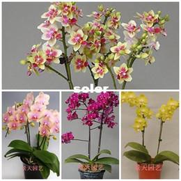 Wholesale Phalaenopsis Seeds bonsai balcony flower orchid seeds bundle Phalaenopsis Orchids seeds