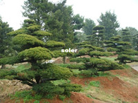 Cheap 40 pcs lot GARDEN BONSAI TREE SEED White pine Podo carpus tree seeds , Evergreen Shrubs Potted Land free shipping