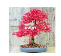 Cheap 20 pcs lot GARDEN BONSAI TREE SEED Hong Fengshu tree seeds , pinus seeds Potted Land free shipping