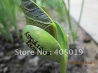 Wholesale Real Time Picture Novel English Magic Bean Growth Rate White Color Jack Bean w Sketch Home Decor Bonsai Free Logo Customize