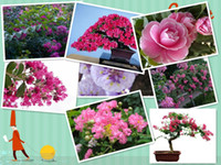 Cheap 50 SEEDS Red Lagerstroemia indica Crape Myrtle Tree Seeds bonsai flower Seeds