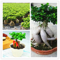 Cheap 60pcs lot Ficus ginseng tree seeds beautify home garden Potted plants free shipping