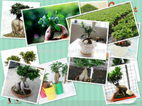 Cheap Hot selling 100pcs banyan tree seeds ficus ginseng seeds bonsai seeds green tree seeds DIY home garden free shipping