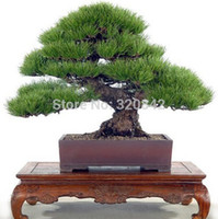 Cheap 50 pcs Pine Tree Seeds Pinus Thunbergii Seeds Bonsai Seeds Potted Landscape DIY Plants Seeds For Home & Garden Free Shipping