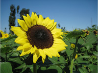 sunflower seeds - Sunflower seeds garden planting seeds potted plants seeds