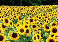 sunflower seed - 50Pcs Sunflower seeds garden planting seeds potted plants seeds