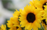 Wholesale 20Pcs Sunflower seeds garden planting seeds potted plants seeds