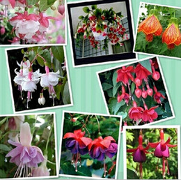 Wholesale pieces Fuchsia seeds hanging flowers potted balcony planting is simple budding rate of mixed colors