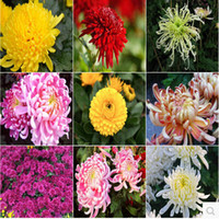 Wholesale 100 Chrysanthemum seeds flower seeds potted plants budding varieties mixed colors