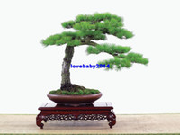 Wholesale Hot selling Japanese pine tree seeds Pinus thunbergii seeds bonsai seeds DIY home garden