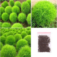Wholesale Hot Sale Seeds Kochia Scoparia Grass Plant Summer Cypress Rare Seed Rapid Grow Gift