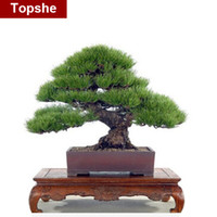 Cheap [`Topshe] Hot Selling 50pcs Pine Tree Seeds Pinus Thunbergii Seeds Bonsai Seeds Potted Landscape Home Garden Drop Shipping