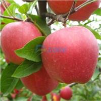 bonsai - 20Pcs Seeds Malus Domestica Apple Seeds Delicious Fruit Garden Plants Bonsai