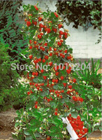 Cheap Potted Fruit Seeds 500 Piece, German Latest Climbing big Strawberry Seeds, A Powerful Warrior Vine, The Real Climbing Plants