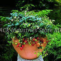 Cheap New Pack Kings Vegetable Seeds Strawberry Temptation Great Pots Beautifying Outdoor Plants Perennial in Next Year 200 Piece