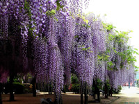 Wholesale seeds Blue Chinese Wisteria Vine Wisteria sinensis Flower Seeds tree Fast Showy SKU27