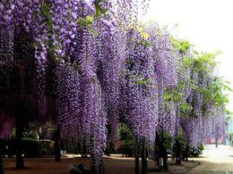 Цветковые деревья Онлайн-- 10 семян Синий китайский Глициния Vine, Глициния китайская, цветок Семена дерева (Fast, Showy) SKU27